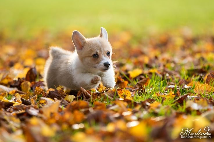 Running welsh corgi puppy - Young welsh corgi puppy running through the autumn leaves