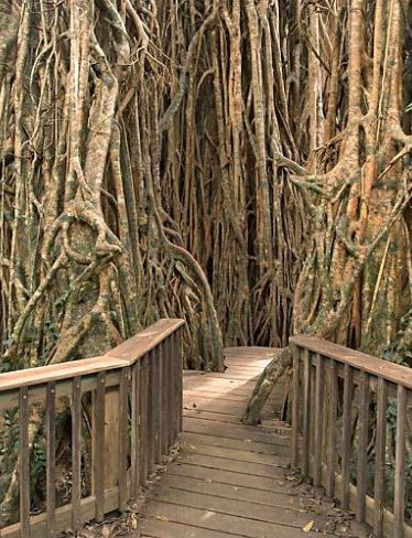 Curtain Fig Tree, Yungaburra, Atherton Tableland, Queensland... I have walked through these.. So amazing to listen to the birds sing as you walk around
