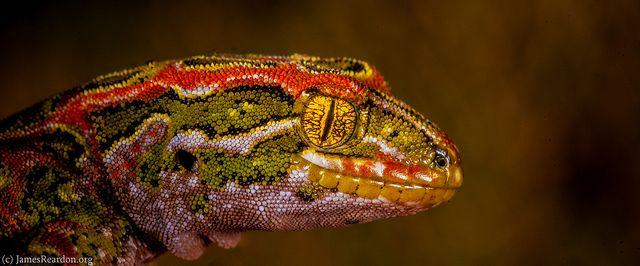 Harlequin gecko Tukutuku rakiurae, Stewart Island photo James T. Reardon-6037 by © James Reardon, via Flickr