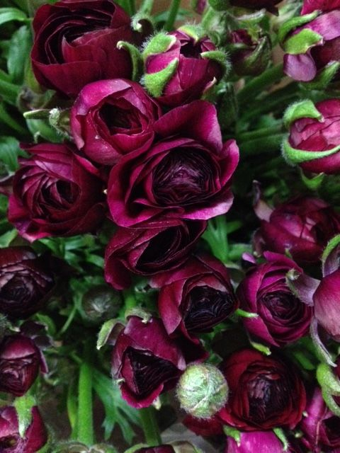 Ranunculus 'Pauline Violet'...Sold in bunches of 20 stems from the Flowermonger the wholesale floral home delivery service.