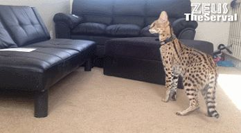 New Zeus the Serval cat.  I need a cat the size of my children!