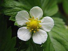 Wald-Erdbeere: Die Blüten der Wald-Erdbeere sind pollen- und nektarreich | Wikipedia