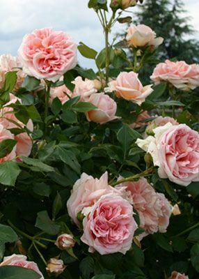 ~Rose 'Souvenir de la Malmaison' grown by Josephine in her Rose Garden at Malmaison