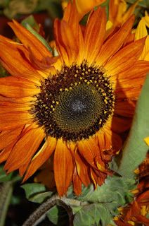 brown sunflowers - Google Search
