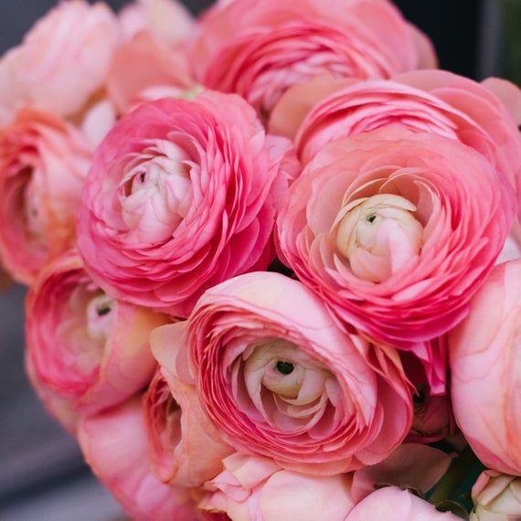 Ranunculus Tecolote Pink 10 Bulbs In 2020 Flowers Buttercup Flower Easy To Grow Bulbs