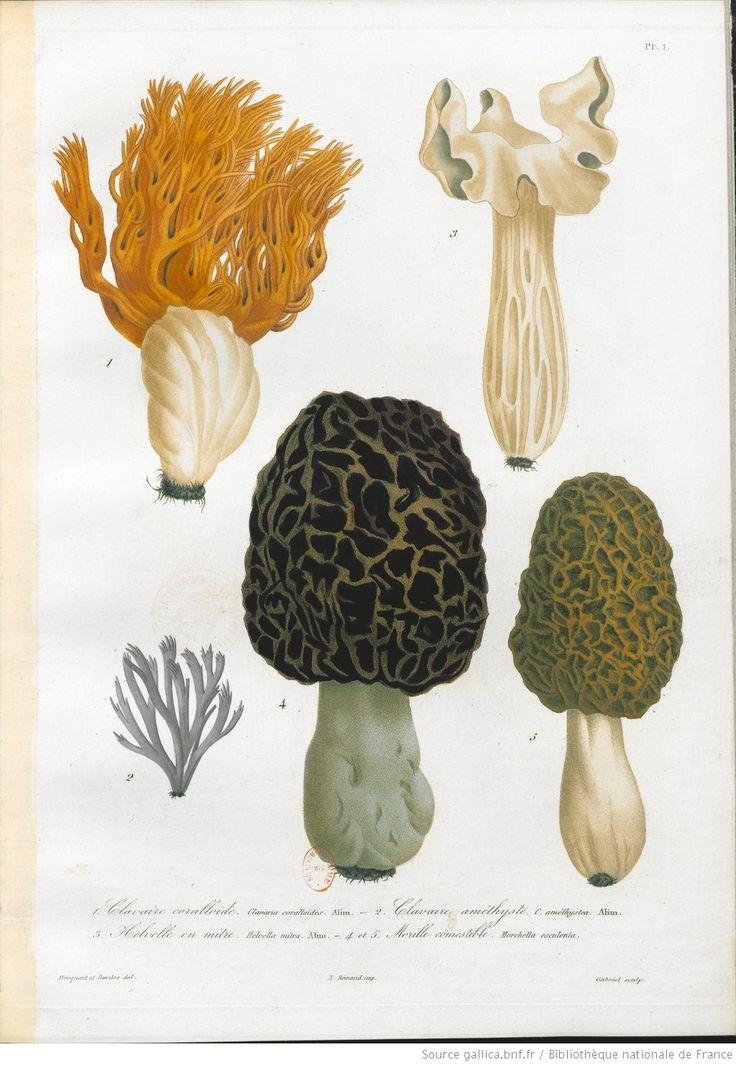 Atlas des champignons comestibles et vénéneux... : accompagné d'un texte explicatif... / par Joseph Roques | 1864