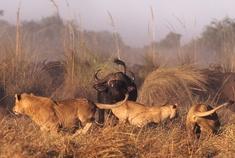 Okavango Delta - Botswana - Lions and Buffalo