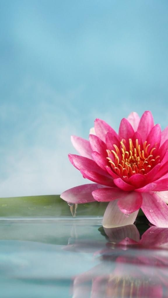 Iphone X Background 4k Lotus Flower 1 Download Free Awesome