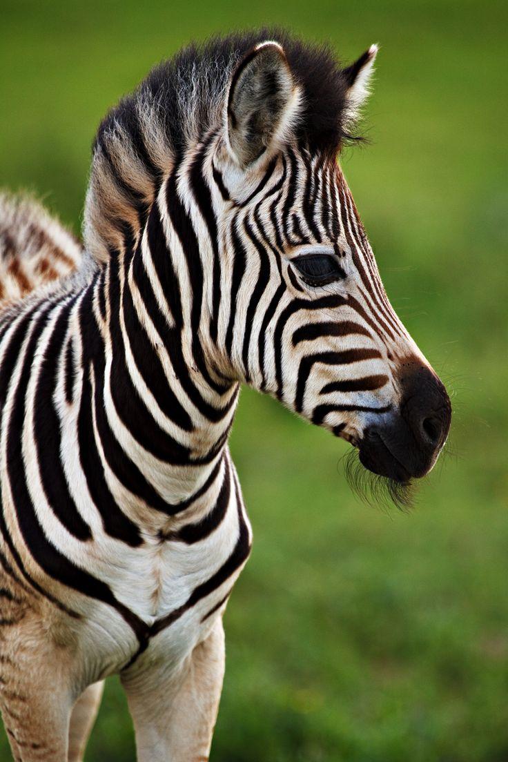 Zebra Foal of Tala Game Reserve #animal #welfare #reserve