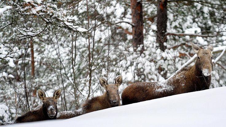 Hirvet liikkuvat loppuvuodesta aktiivisesti muun muassa metsästyskauden vuoksi.