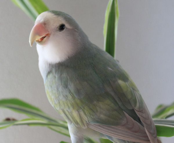 Lovebird pastel violet - photo#26