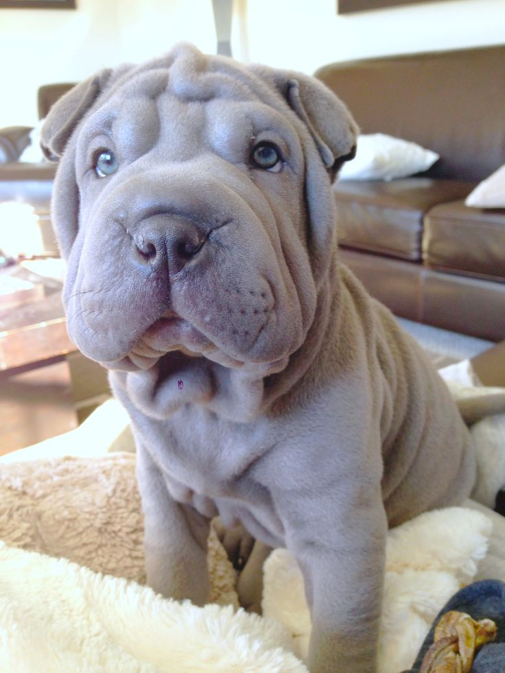 138 best images about shar pei puppies on pinterest blue. Black Bedroom Furniture Sets. Home Design Ideas