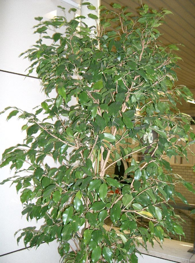 How to Take Care of a Ficus Tree   Garden Guides