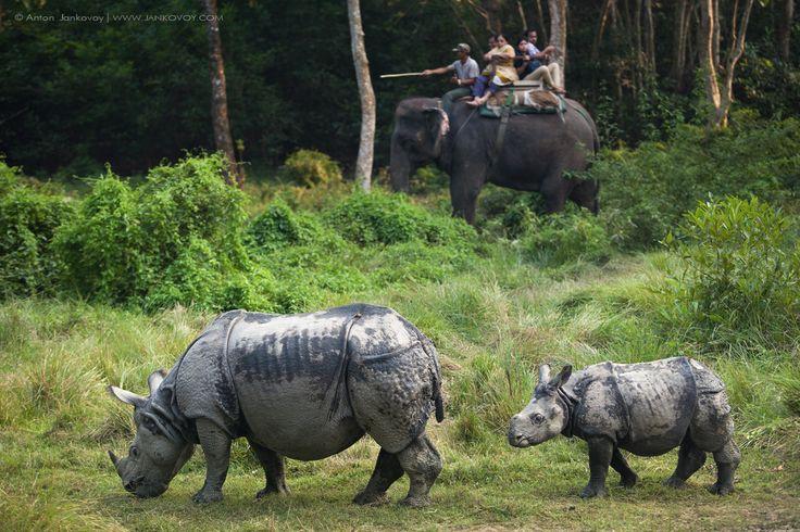 Female and cub Indian rhinoceros (Chitwan National Park, Nepal).  Author: Anton Yankovoy (www.photo-travel.com.ua)