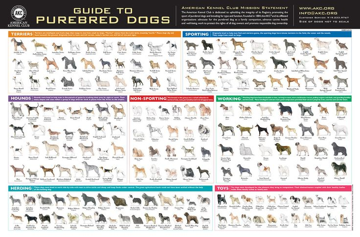 This AKC Breeds Poster displays all the AKC recognized breeds, with their full name and country of origin. Perfect for framing or hanging on a wall.