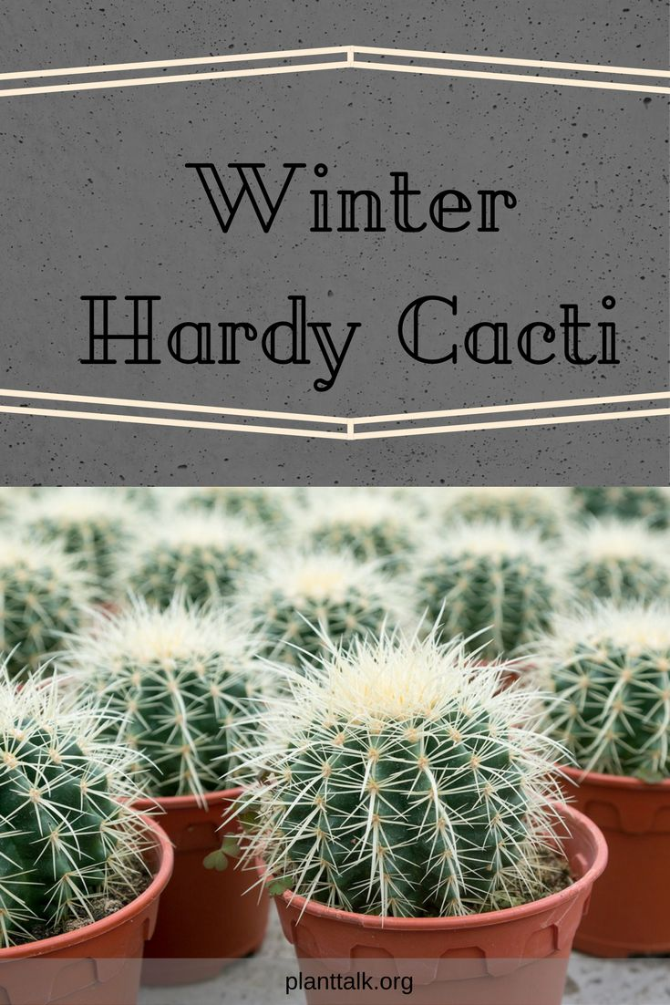 Winter Hardy cacti are a perfect addition to your garden.