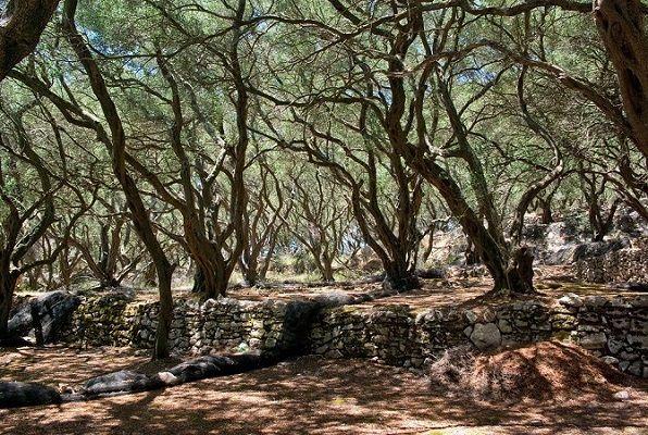 Olivegrove in Corfu