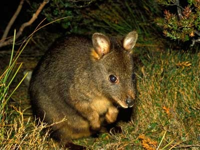 A Pademelon in The Tarkine #Tasmania. All fauna is threatened by the expansion of mining. More: http://en.wikipedia.org/wiki/Pademelon | Protest on Pinterest: pinterest.com/tarkine #SaveTarkine