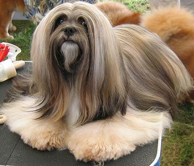 Lhasa Apso. They are members of the non-sporting group. They are great companions and watchdogs. They stand at 10-11 inches at the shoulder and weigh about 12-18 pounds.