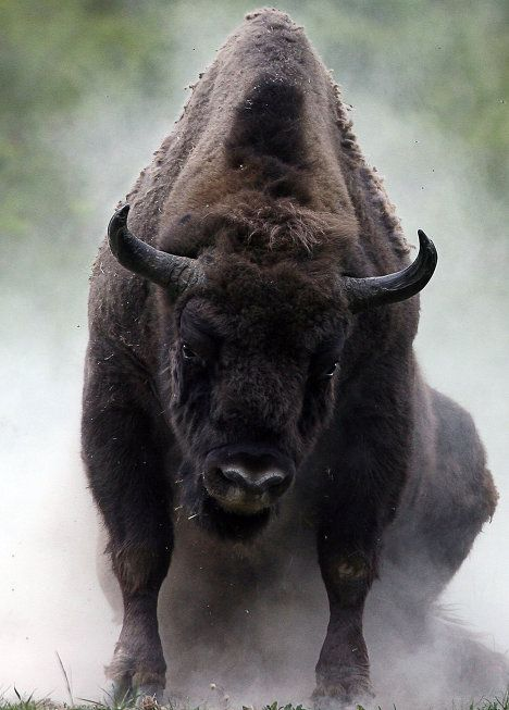 The wisent, or European wood bison, is the largest and heaviest land mammal in Europe, and the last of the European bison. It is about 330 cm long, nearly two meters tall, and may reach up to one metric ton in weight. In 1921, due to the anarchy of the World War I and the years that followed, poachers almost eliminated the entire wisent population. As of December 31, 1997, specialists managed to preserve 1,096 wisents in zoos, and 1,829 in the wild.