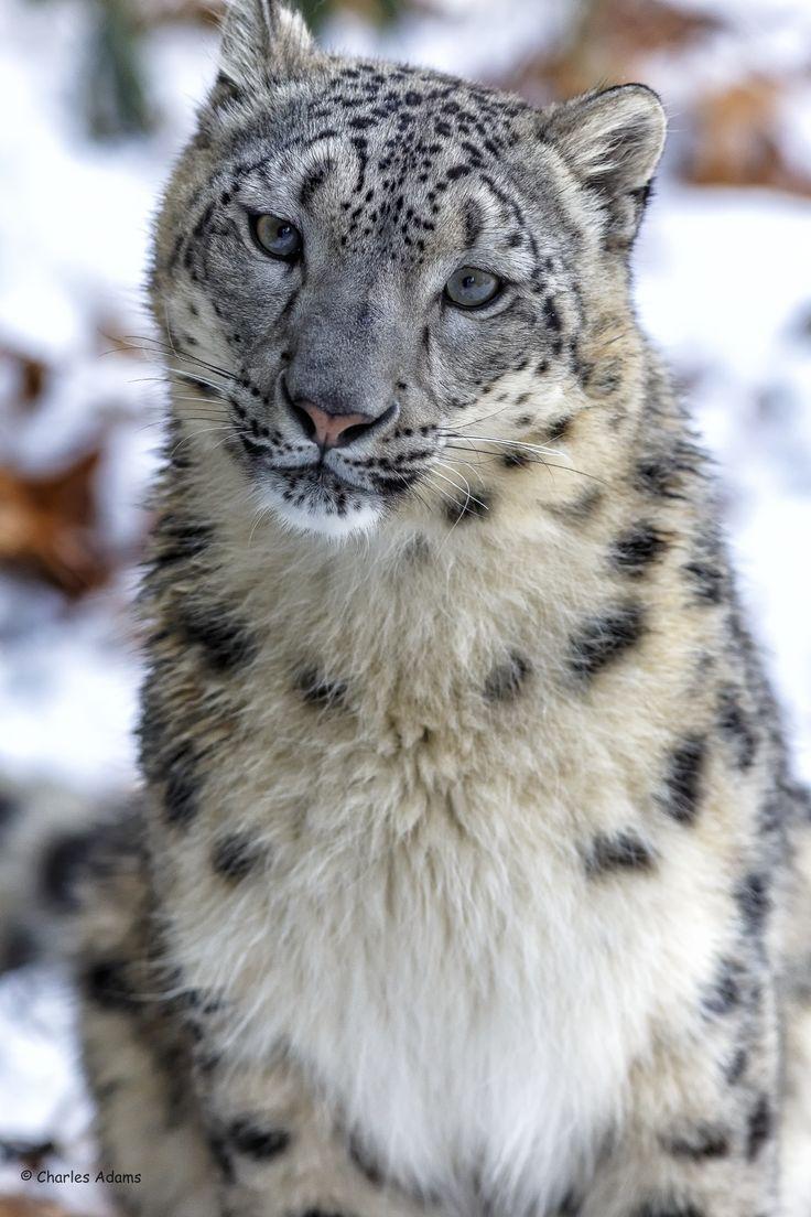 Female Snow Leopard Portrait (No Crop) by Charles Adams on 500px