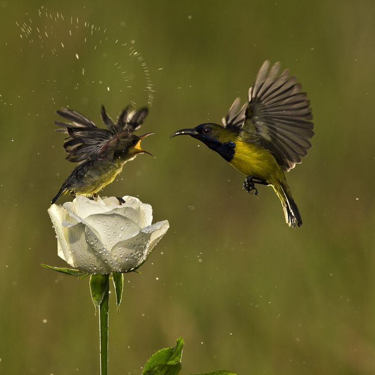 Olive Bellied Sunbird