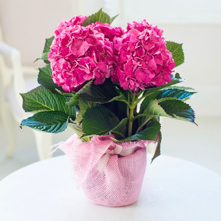 Gift Wrapped Hydrangea
