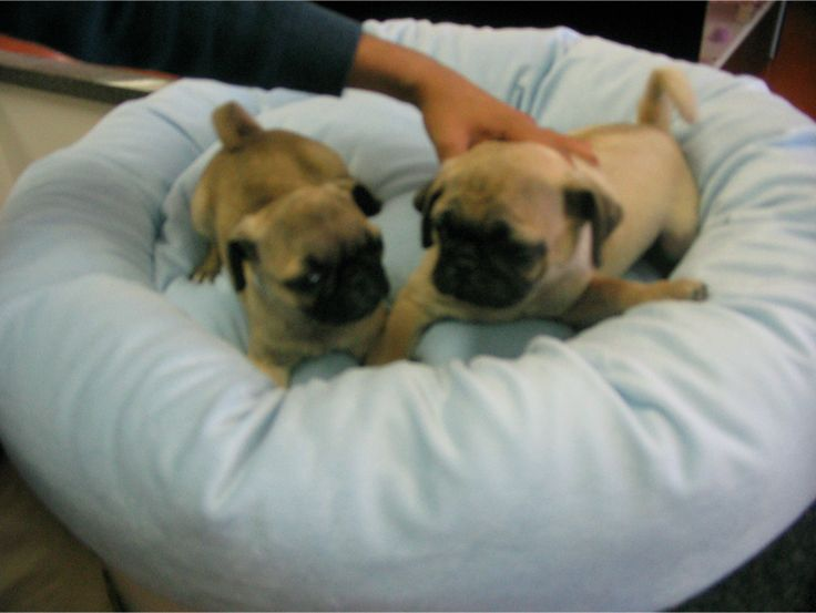 pug rescue ny best 20 pug puppies for adoption ideas on pinterest 6898