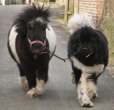 A newfoundland dog and a Newfoundland pony!... Who's walking whom?