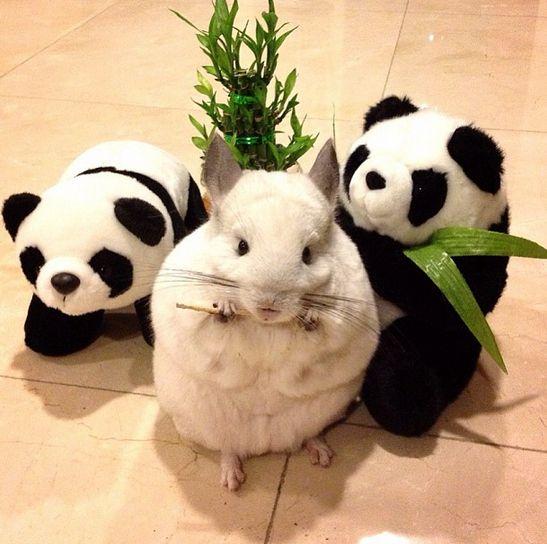 BuBu é a chinchila mais popular de toda a terra e tem muitos amigos.