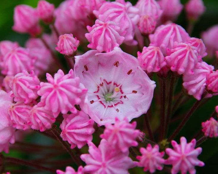 Kalmia latifolia at Fittleworth House