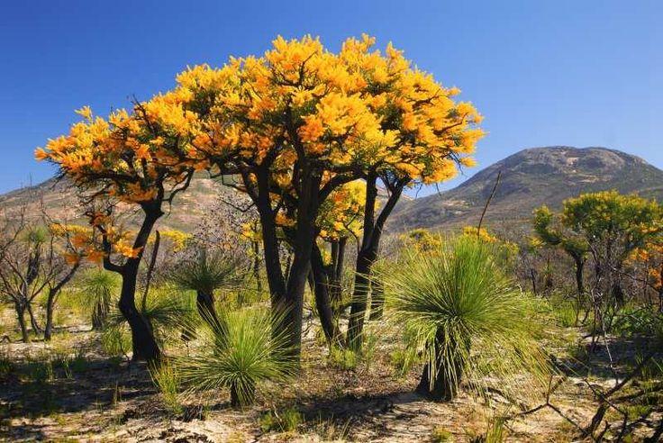 Christmas tree (Nuytsia floribunda) and grass tree (Balga), in Cape Le Grand National, Golden Outback, WA.