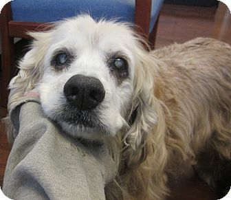 Special Needs! Senior 11 yrs. Pictures of Hunter a Cocker Spaniel for adoption in Oak Ridge, NJ who needs a loving home. Hunter is blind, hard of hearing & is also being  treated for skin infections. This sweet senior is available at Second Chance Pet Adoption League.