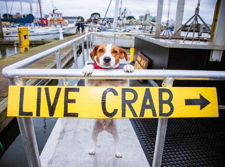 Roscoe pointing the way to Jenna Lee's Seafood selling local crab 5 days a week. #loveyourpetday #crabseason : @amykumler. . . #livecrab #humboldt #humboldtcounty #dog #dogs #dogsofinstagram #crab #mansbestfriend #ilikeeureka #eureka #yearofthedog #norcal #marina #seafood