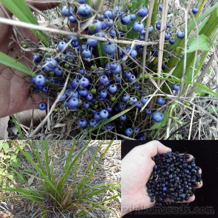 Blue Flax Lily Dianella Species Brevipedunculata Seeds   Fair Dinkum Seeds