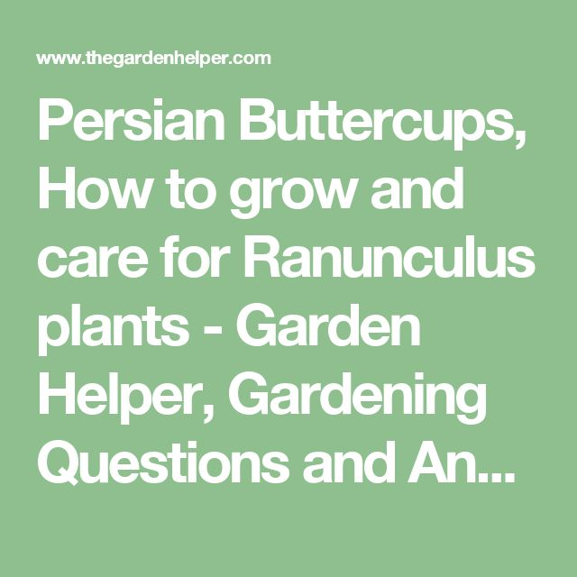Persian Buttercups, How to grow and care for Ranunculus plants - Garden Helper, Gardening Questions and Answers