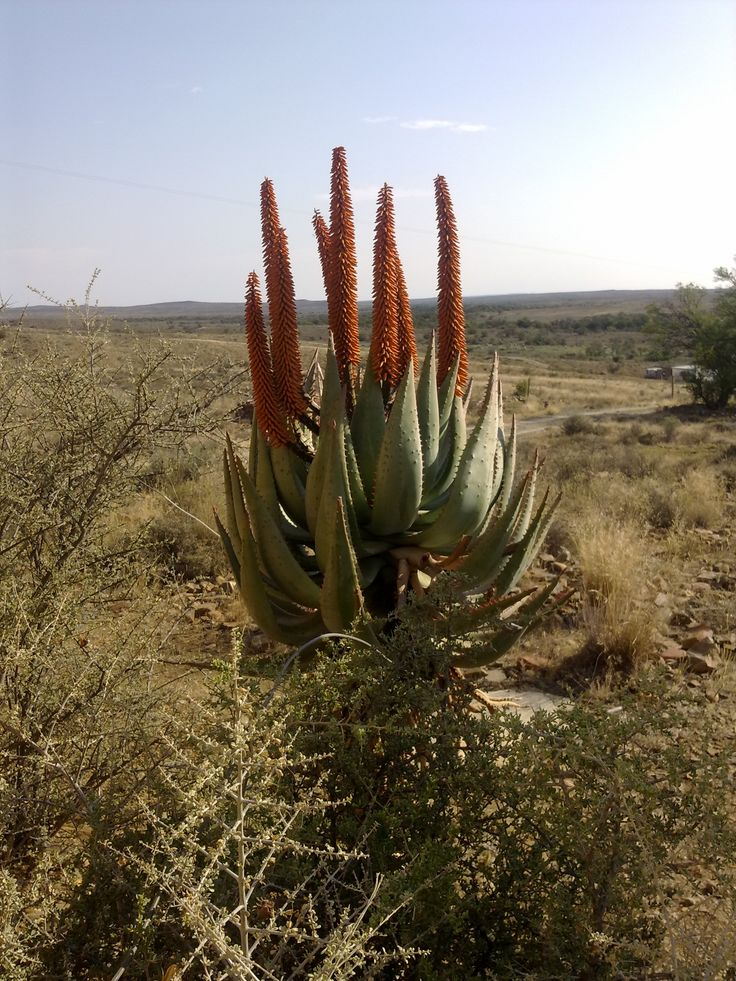 Aloe ferox in the Karoo -- you have to be a South African to understand the magic of the Karoo