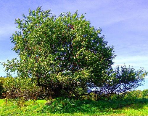 Гороскоп друидов дерево Яблоня     Зодиак кельтов. Люди рожденные под знаком Яблони с 25 июня по 4 июля и с 23 декабря по 1 января
