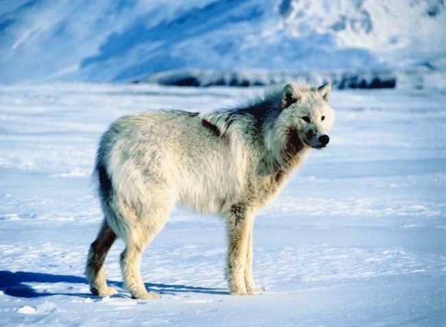 In beeld: wolven in het wild - KnackWeekend.be // - © Thinkstock De Poolwolf behoort tot de grijze wolven en komt voor in het noorden van Canada, Alaska en Groenland. Het is de enige wolvensoort die amper geleden heeft onder de aanwezigheid van de mens. Ze leven dan ook in zulke afgelegen gebieden dat er vrijwel nooit mensen komen.