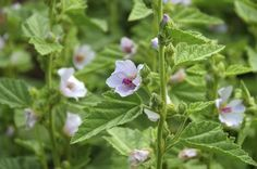How to Grow a Marsh Mallow Plant