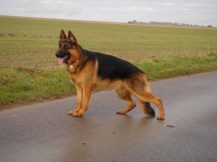 perro pastor aleman - Buscar con Google