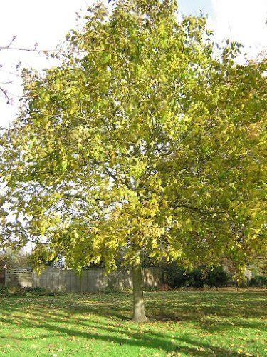 Tree Seeds Online - Juglans Regia. Anglais Noyer. 3 Grands Semences - Lot de 10: Amazon.fr: Jardin