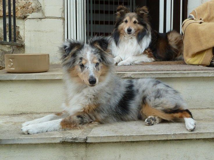 217 best BERGER DES SHETLAND images on Pinterest | Pets