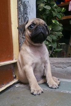Discover A Pug For Adoption Quickly And easily - http://weloveourpugs.net/discover-a-pug-for-adoption-quickly-and-easily/