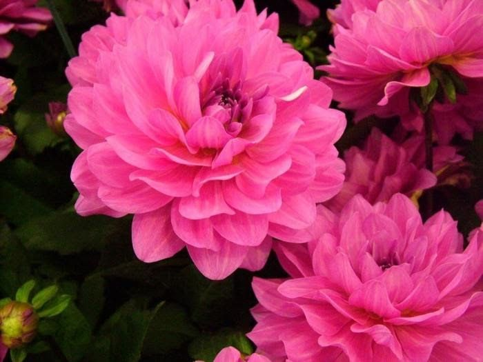 Paling Bagus 29 Foto Bunga Cantik Di Dunia Di 2020 Bunga Dahlia Bunga Menanam Bunga