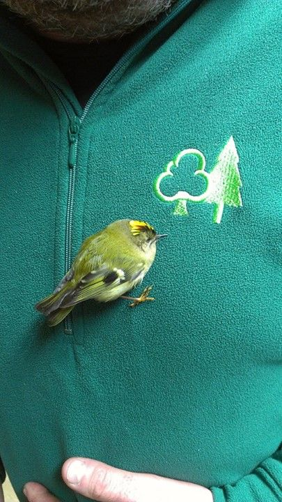 Goldcrest having a little break before heading back out into the forest at #Whinlatter
