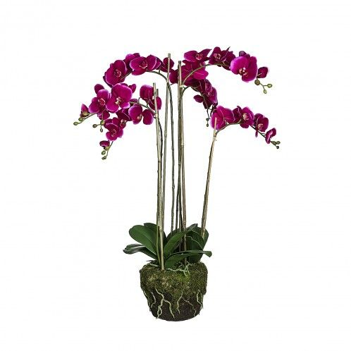 Sia Orchid Phalaenopsis in moss pot