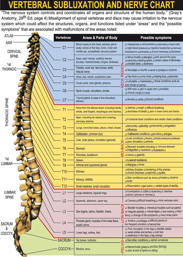 Your spinal column or 'backbone' is made up of 24 vertebrae: seven in your neck (cervical spine), 12 in your midback (thoracic spine) and 5 in your lower back (lumbar spine). Your spinal cord, made up of billions of nerves, lies inside your spinal column, protected on all sides by bone. Your spinal cordís nerves branch out through openings between your vertebrae and connect to your internal organs, muscles, joints, ligaments, tendons and other body parts. This connection is vital for your…