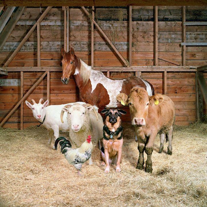 Rob MacInnis / Farm animal portraits in the style of fashion photography