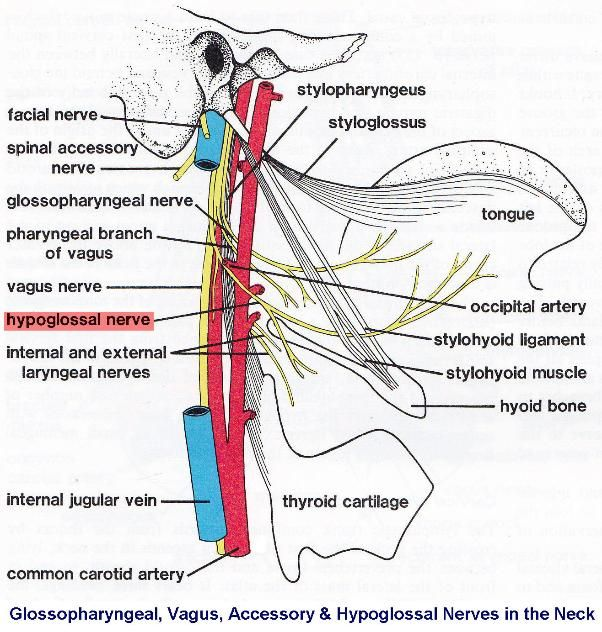 superior thyroid artery nerve muscle - Google Search